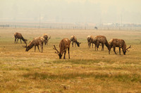 Alpine, Arizona's resident elk herd seems unconcerned about the smoke.